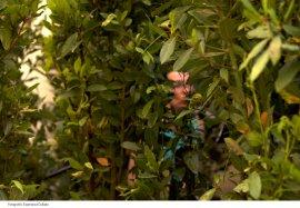 Arbusto Ardiente