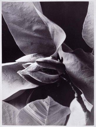 Albert Renger-Patzsch. Botanical Study (Estudio botánico), 1920 (ca.) / Copia posterior. Gelatinobromuro de plata sobre papel,  Imagen: 23 x 17 cm / Soporte: 24 x 18 cm.